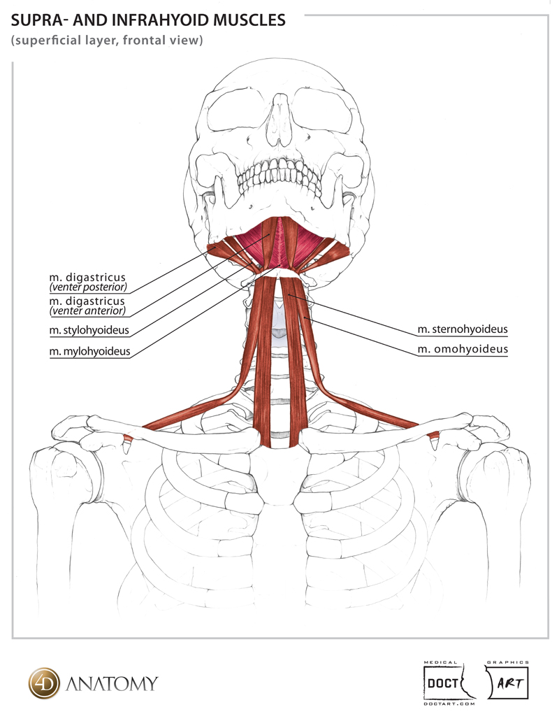 Strap muscles anatomy